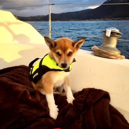 Little dog with a safety jacket sitting on the sailboat - Harba